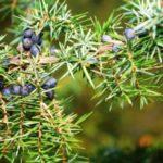 Jałowiec pospolity- Juniperus communis
