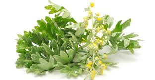 Bylica piołun- Artemisia absinthium