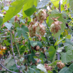 Chmiel zwyczajny- Humulus lupulus