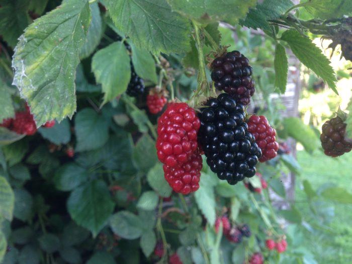 Jeżyna- Rubus fruticosus