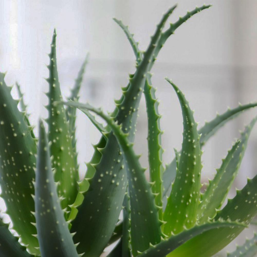 Aloes drzewiasty- Aloe arborescens