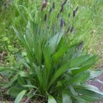 Babka lancetowata- Plantago lancelota