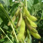Soja warzywna- Glycine max