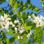 Robinia akacjowa- Robinia pseudoacacia