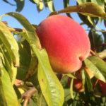 Brzoskwinia- Prunus persicia