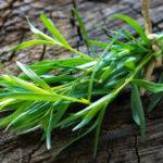 Estragon- Artemisia dracunculus