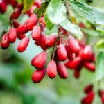 Berberys zwyczajny- Berberis vulgaris