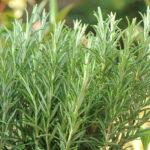 Rozmaryn lekarski- Rosmarinus officinalis