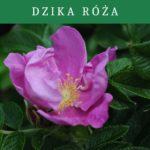 Dzika róża- Rosa canina- właściwości