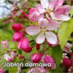 Jabłoń domowa (łac. Malus domestica)
